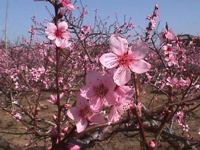 川西市加茂の桃の花