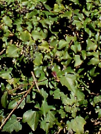 キヅタの画像 p1_28